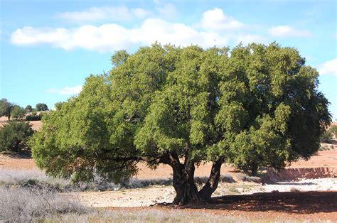 central atlas tamazight simple english wikipedia the argan wiktionary