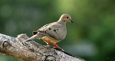 how to a to dove hunt how to prepare for a dove hunt