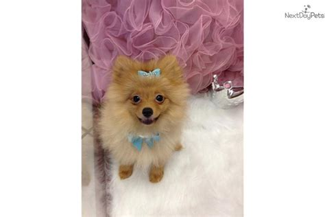 pomeranian puppies like boo for sale pomeranian puppy for sale near fort lauderdale florida b2f32fb9 7591