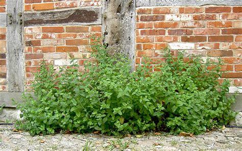 winterharte pflanzen für garten 36 marokkanische minze pflanze mentha spicata v crispa
