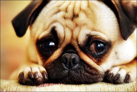 imagenes tristes tiernas tiernas im 225 genes de perritos tristes para compartir