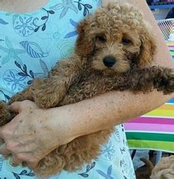 mini doodles hereford available puppies northwoods golden doodles