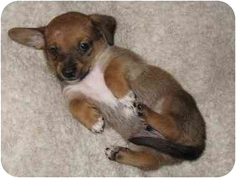 dachshund mix shih tzu pippin adopted puppy fallbrook ca dachshund shih tzu mix