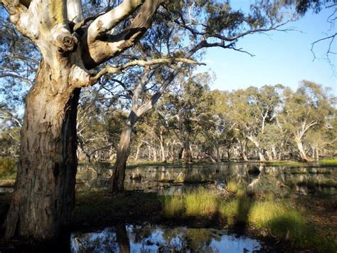 Easy Plants River Red Gum Ian Lunt S Ecological Research Site