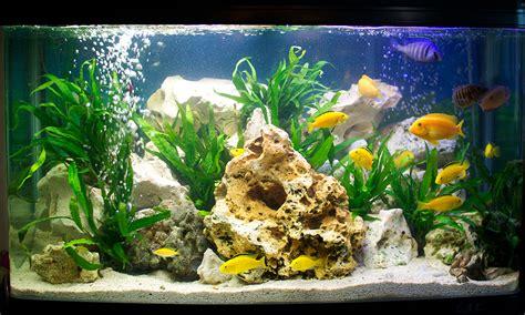 Malawi Cichlid aquarium   coldwater aquarium   Chris Aylen