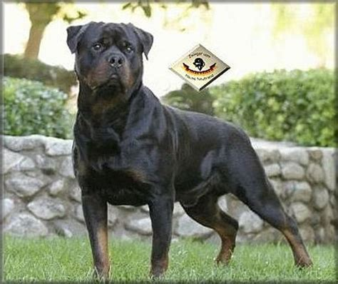 dkv rottweilers 17 best ideas about german rottweiler on rottweilers rottweiler puppies