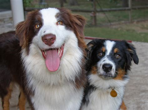 Do Australian Sheep Dogs Shed by File Australian Shepherds 001 Jpg Wikimedia Commons