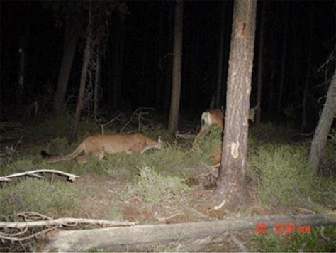 eastern cougar sightings nys dept. of environmental