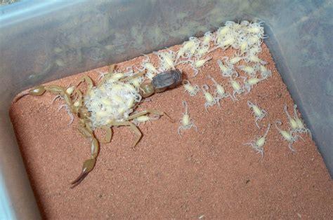 scorpione in casa piccolo scorpione trovato in casa dubbio inside pag 3