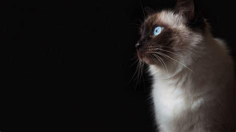 cat eyes wallpaper hd blue eyes grumpy cat hd wallpaper of animals