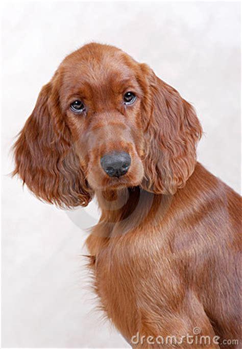 irish setter dog time irish setter puppy stock photography image 4880842