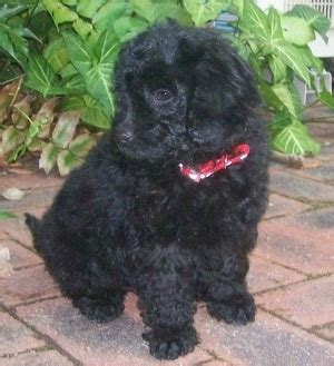 labradoodles puppies for sale perth australian labradoodle breed pictures