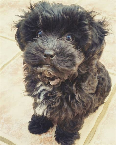black maltipoo puppies 25 best black maltipoo ideas on grooming tips puppy facts and