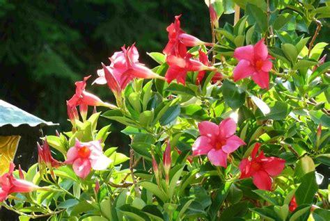 sundaville fiore dipladenia piante appartamento dipladenia sundaville