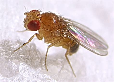 Where Do Gnats Come From In The Bathroom Fruit Fly Information And Pest Control Get Rid Of Fruit