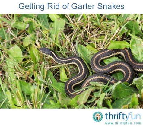 Garden Snake Get Rid Of Getting Rid Of Garter Snakes Thriftyfun