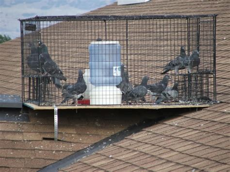 how to trap pigeons for pigeon trapping trapping pigeons pigeon guard
