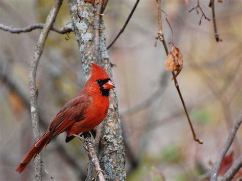 file cardinalis cardinalis male 09 jpg wikimedia commons