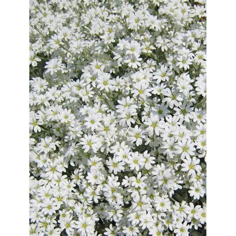 piante tappezzanti fiorite pianta cerastio piante fiorite piante tappezzanti