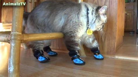 funny cat in shoes funny cats in shoes cats wearing boots in first time