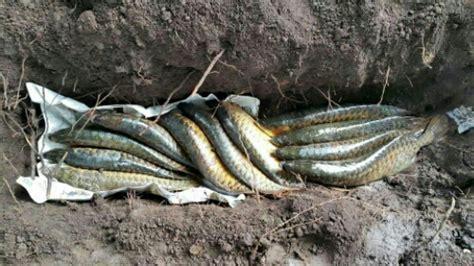 Anakan Arwana Platinum bayangkan jika 15 ekor arwana mati bersamaan