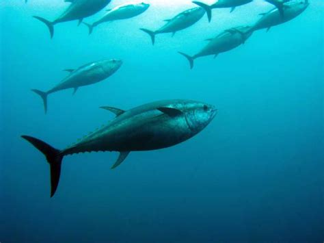 why you shouldn t eat bluefin tuna green living green blogs