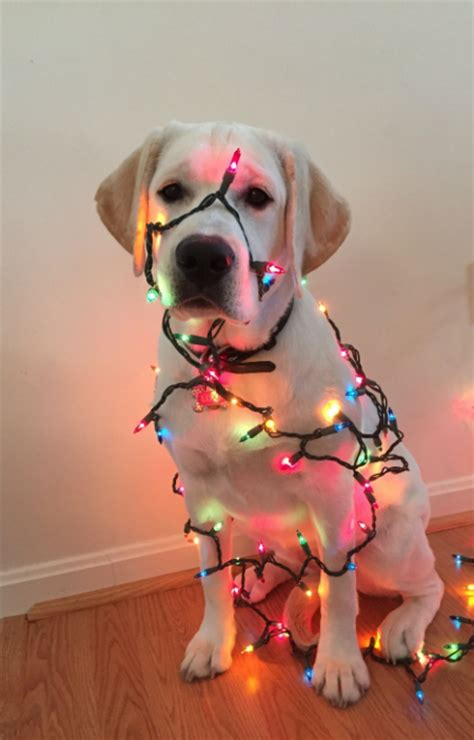 dogs getting in the holiday spirit modern dog magazine
