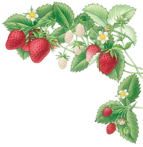 all about growing strawberries organic gardening mother earth news