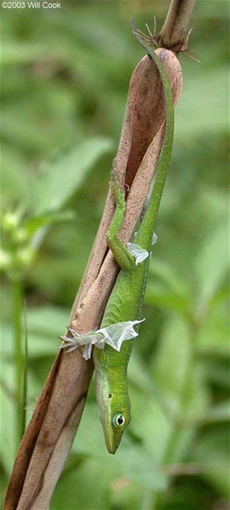 green anole anolis carolinensis