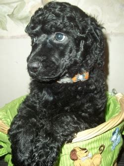 puppies for sale in yuma az standard poodle puppies az photo