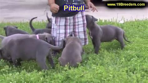 pitbull puppies nc pitbull in nc goldenacresdogs