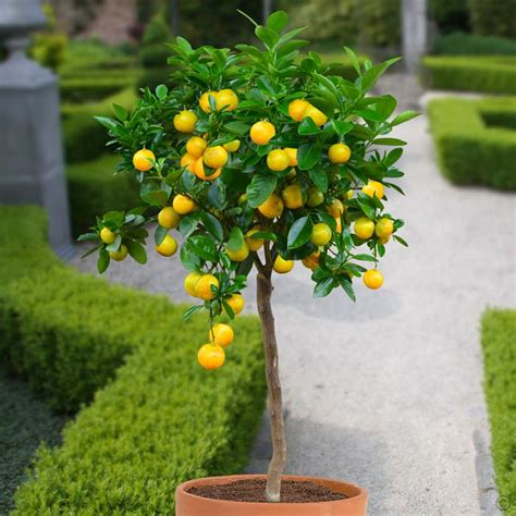 ordering fruit trees orange tree standard 1 tree buy order yours now