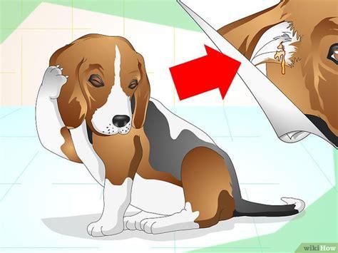 infezione all orecchio interno come curare infezioni all orecchio nei cani wikihow