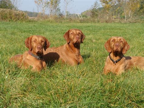 vizsla puppies for sale in michigan hungarian wirehaired vizsla vidor vizslas in michigan breeds picture