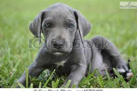 great dane puppies for sale in florida great dane puppy for sale near ta bay area florida d8fddf69 21e1