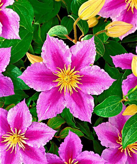 fiore clematis clematide piilu bakker