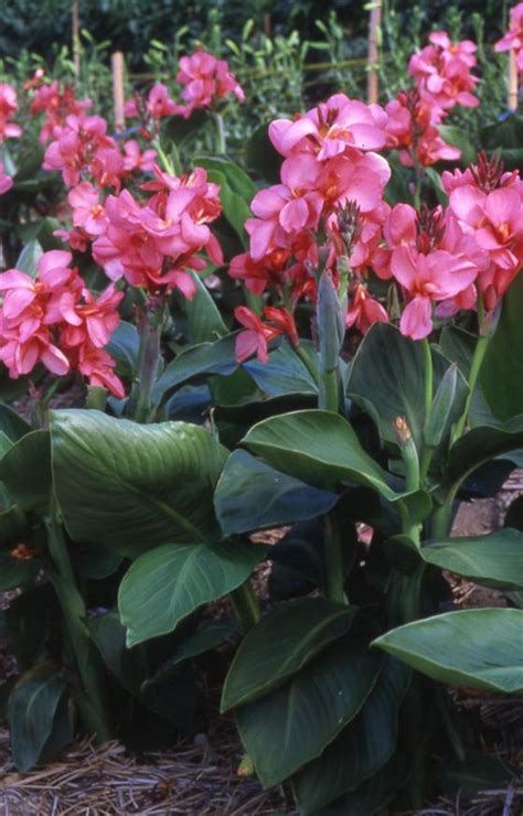 canna lily dwarf tropical rose  pot   plants