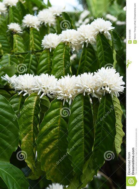 il fiore bianco fiore della pianta caff 232 con il fiore bianco di colore
