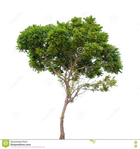 robinia pseudoacacia small tree isolated stock photo