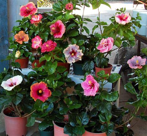 hibiscus garten valley hibiscus tropical hibiscus hybrids