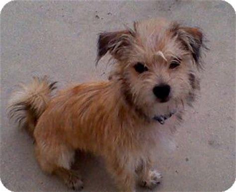 yorkie fox terrier mix oddie adopted naples fl yorkie terrier fox terrier wirehaired mix