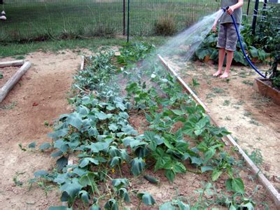When Should I Water My Vegetable Garden Gardendesk More Black Krims And More Watering