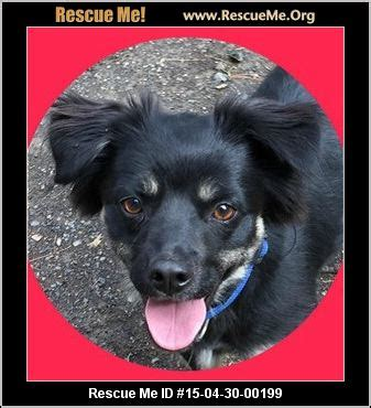 pomeranian rescue va virginia pomeranian rescue adoptions rescueme org