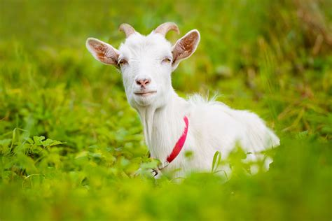 Healthy Care Goat Milk goat s milk for health and beautyno nonsense