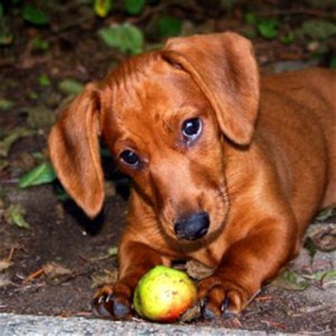 can you eat dogs when can dogs eat apples the delicious but poisonous treat