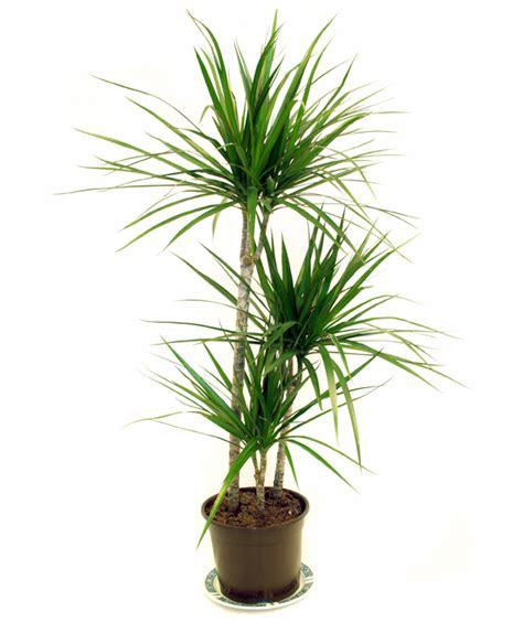 Zimmerpflanzen Die Luft Reinigen by 12 Pflegeleichte Zimmerpflanzen Die Am Besten Die Luft