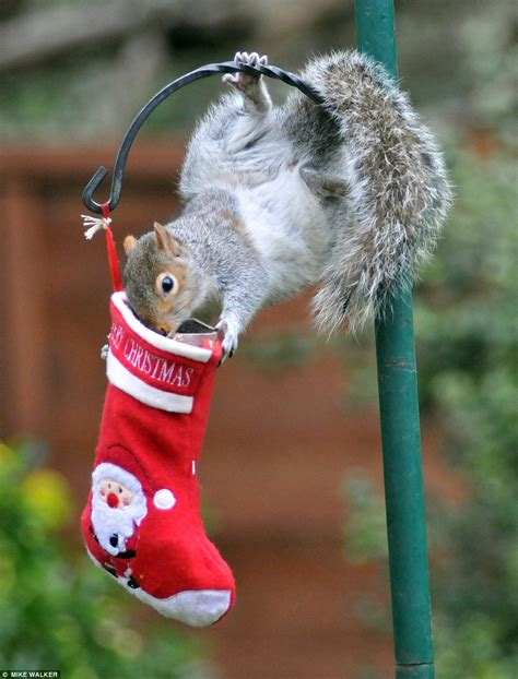 squirrel  nuts  christmas stocking full  treats daily mail
