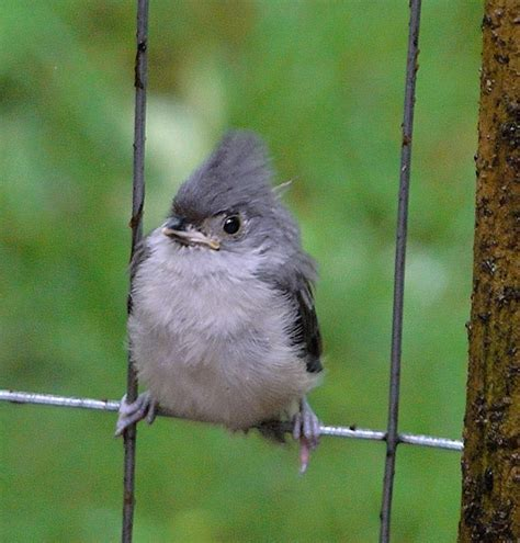 baby tufted titmouse photo ann shapiro photos at pbase com