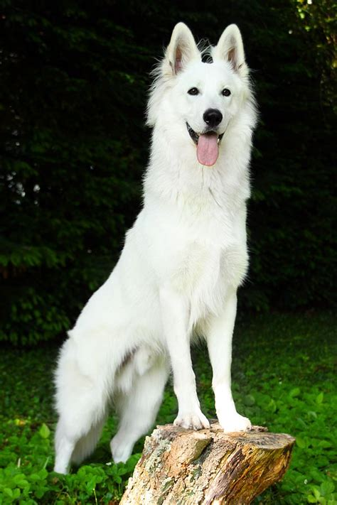 white shepherd 577 best images about german shepherds on beautiful dogs best dogs and puppys