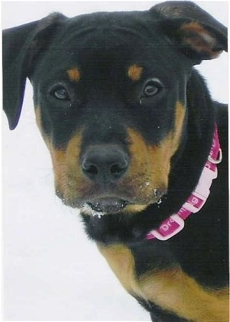 rottweiler cross pitbull puppies pittweiler breed information and pictures